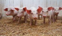 В Иркутском районе объявили режим ЧС из-за вируса африканской чумы свиней