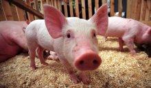 В Иркутском районе по факту падежа 40 свиней возбудили уголовное дело