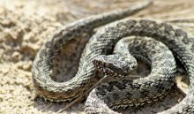 В Иркутском районе школьник, которого укусила гадюка, получил отравление змеиным ядом