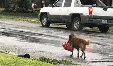 Соцсети покорил подготовившийся к урагану пес