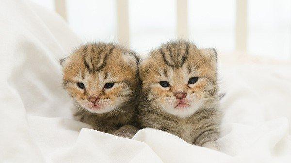 Редких котят покажут на выставке в Иркутске
