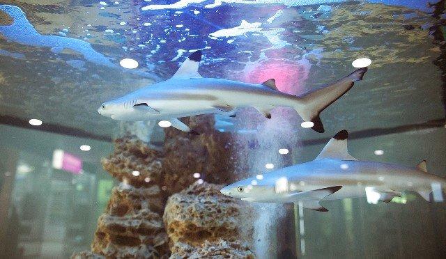 Черноперой акуле виркутский ТЦпривезли соседей— экзотических рыб