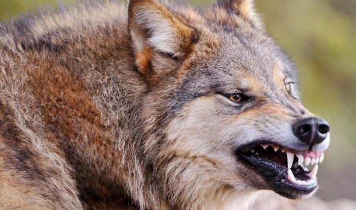 В Иркутской области волк напал на дровосека