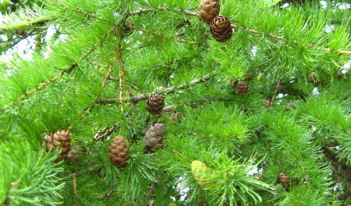 В Иркутске пройдет акция по посадке деревьев «Городская ЭКОбомба»
