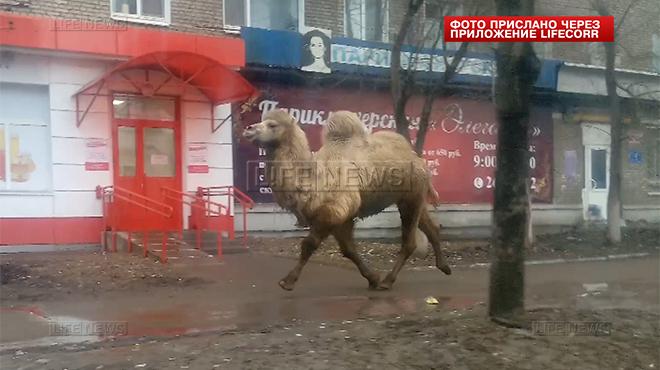Сбежавший из зоопарка верблюд гулял по Уфе (ВИДЕО)