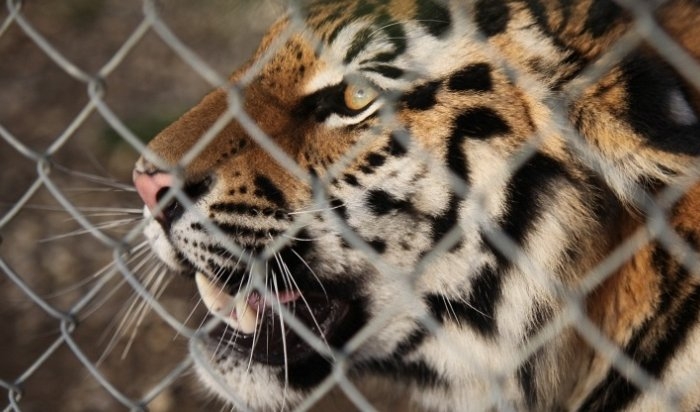 Взоопарке Барнаула на13-летнюю девочку напал тигр