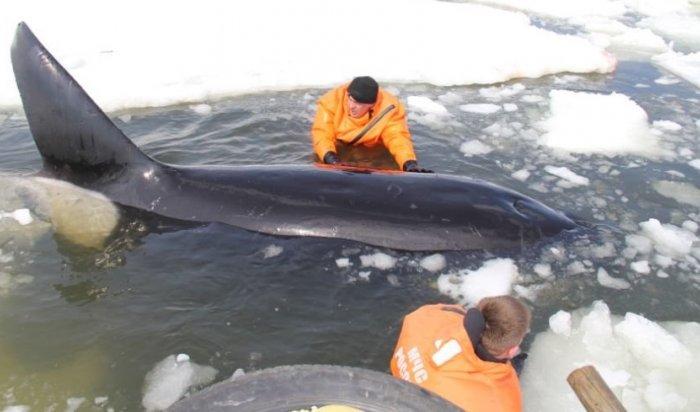 НаСахалине люди спасли четырех зажатых льдом косаток