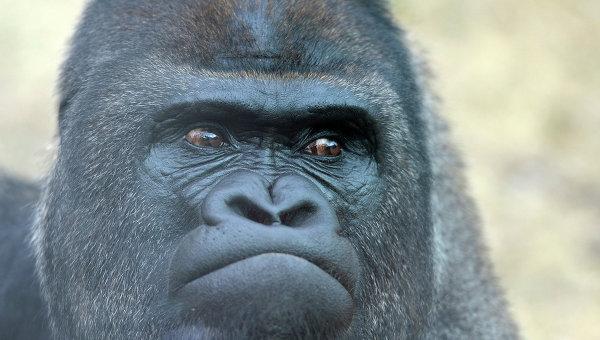 Вамериканском зоопарке 17-летнюю гориллу застрелили из-за падения ребёнка ввольер