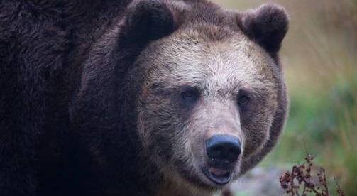 ВФинляндии голодный медведь сорвал военные учения