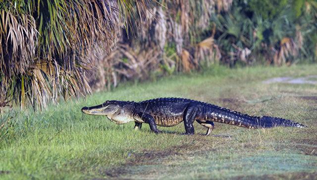 ВДиснейленде Орландо аллигатор утащил под воду двухлетнего ребёнка