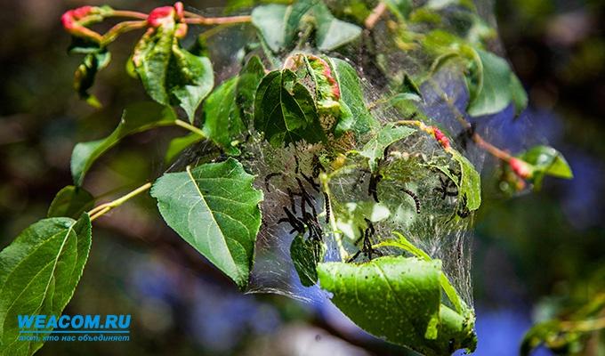 В Иркутске более 25 тысяч деревьев обработали против горностаевой моли