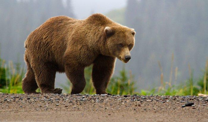 В Усолье-Сибирском возбудили уголовное дело по факту отравления жителей мясом медведя