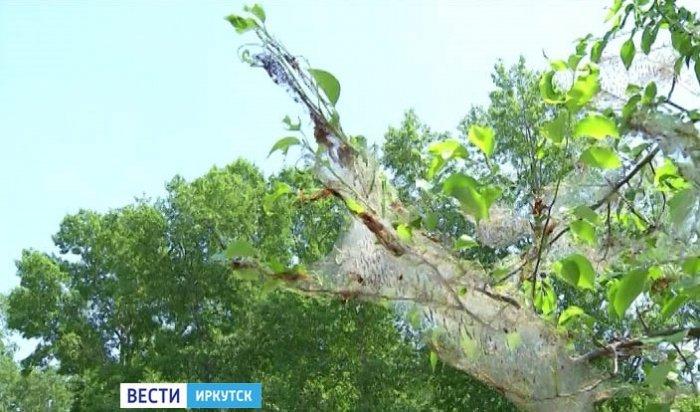 Горностаевая моль захватила в плен Усолье-Сибирское