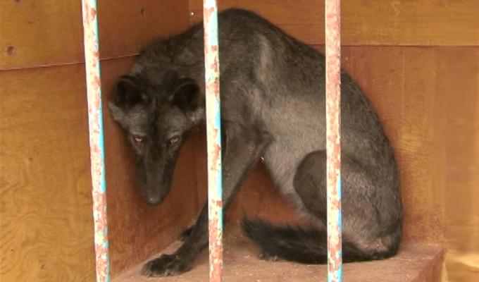 В Иркутском районе поймали канадского волка