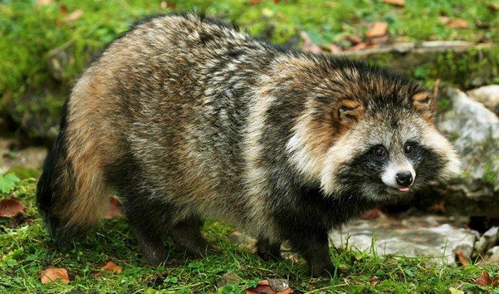 Енотовидная собака появилась  в детском контактном зоопарке Иркутска