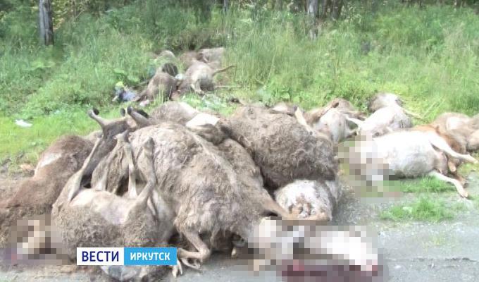 В Слюдянском районе неизвестные выбросили у трассы около 50 мертвых баранов