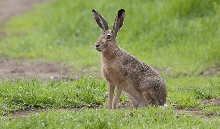 В Приангарье запретили охоту на зайца-русака