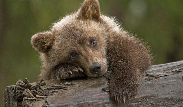 В Ангарске неизвестные жестоко убили медвежонка