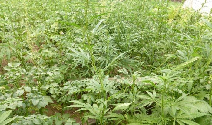 Местный житель впоселке Улькан выращивал насвоем участке коноплю