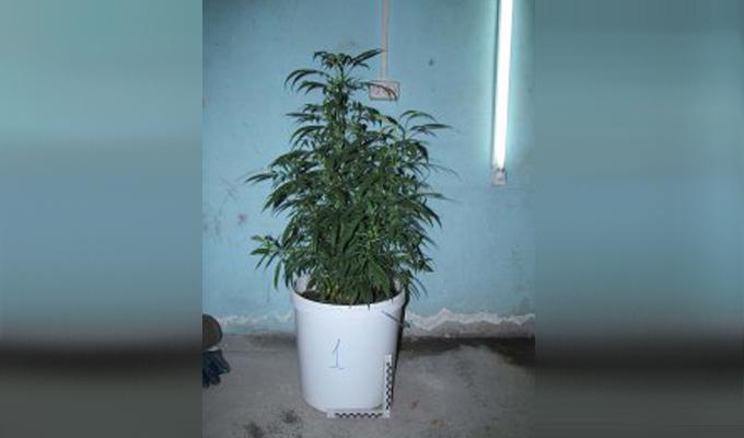 В Усольском районе мужчина выращивал в теплице 126 кустов марихуаны
