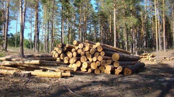 Руководителя Осинского лесхоза будут судить за незаконную вырубку леса на 2,6 миллиона рублей