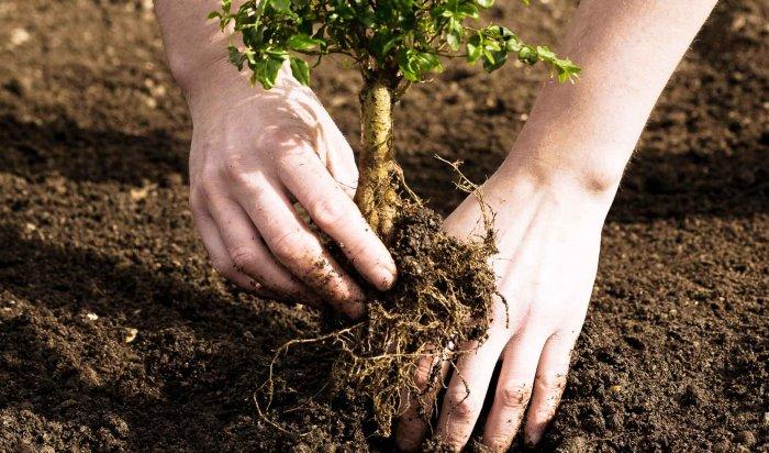 В Иркутске в сквере «Купеческий» высадили более 100 деревьев