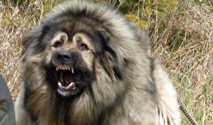 ВИркутске полицейские спасли женщину отразъяренной кавказской овчарки