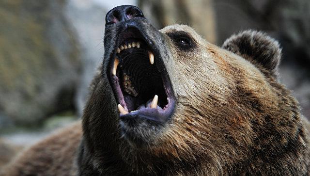 ВЯкутии медведь напал нагеолога