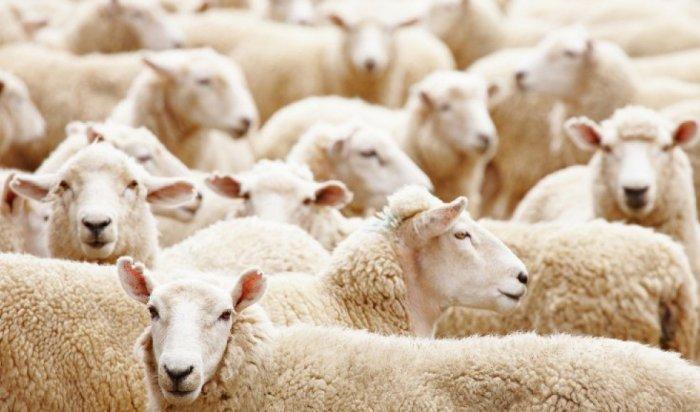 В Тулунском районе задержаны трое подозреваемых в разбойном нападении на пастуха