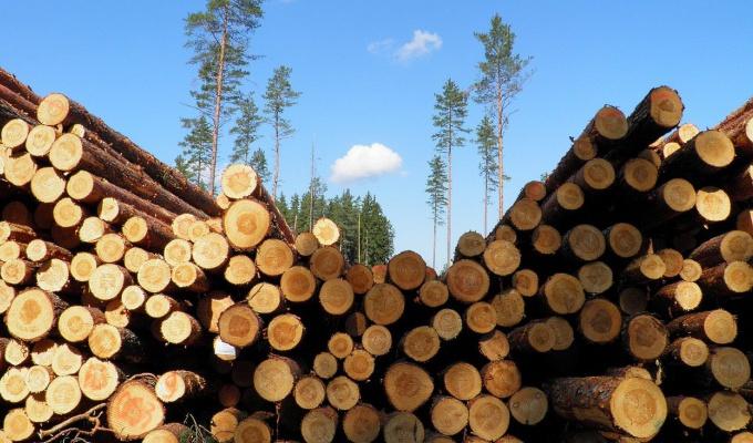 В Тайшетском районе глава поселка нелегально вырубил лес более чем на миллион рублей