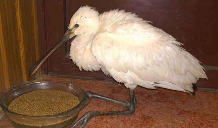 На берегу реки Ушаковки иркутяне спасли редкую птицу