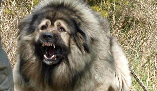 В Усть-Илимске полицейский застрелил собаку, напавшую на женщину