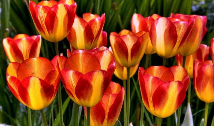 В Черемхово женщина перевела мошенникам более 11 тысяч рублей за тюльпаны