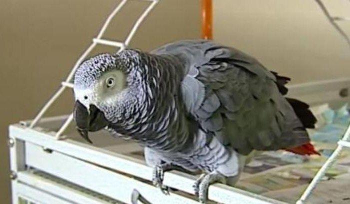 ВСША говорящий попугай сдал свою хозяйку вполицию