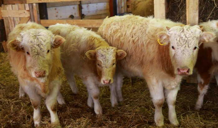 В Куйтунском районе устанавливаются причины заболевания крупнорогатого скота