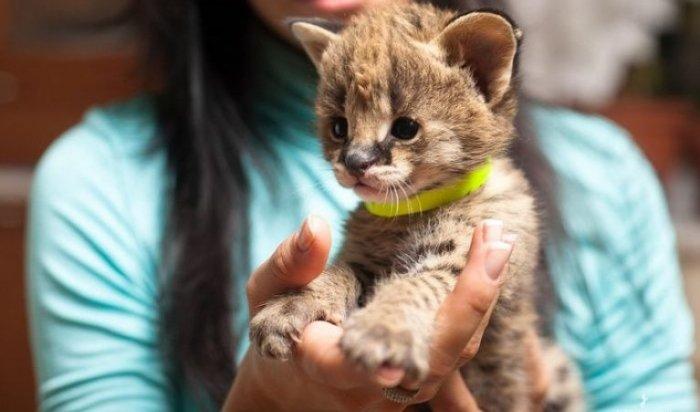 Котят редких и традиционных пород покажут на выставке в Иркутске