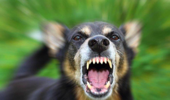В Вихоревке двухлетний мальчик погиб от укусов двух собак