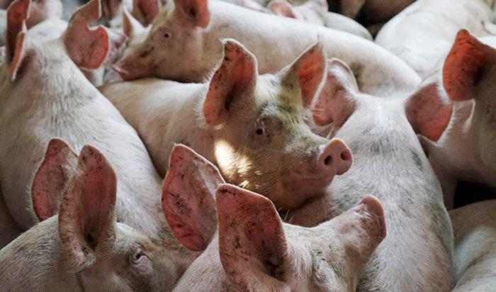 В Иркутской области вводят усиленные меры безопасности из-за африканской чумы свиней в Красноярском крае