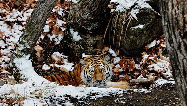 В США усыпили привезенного из России амурского тигра