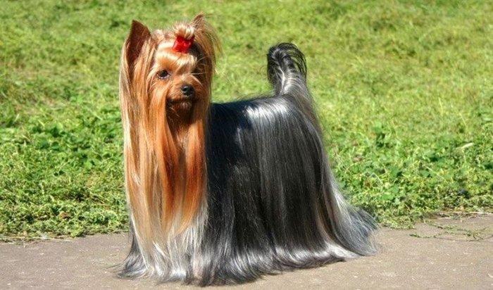 В Ангарске мошенник обманул двух женщин, продававших породистых собак