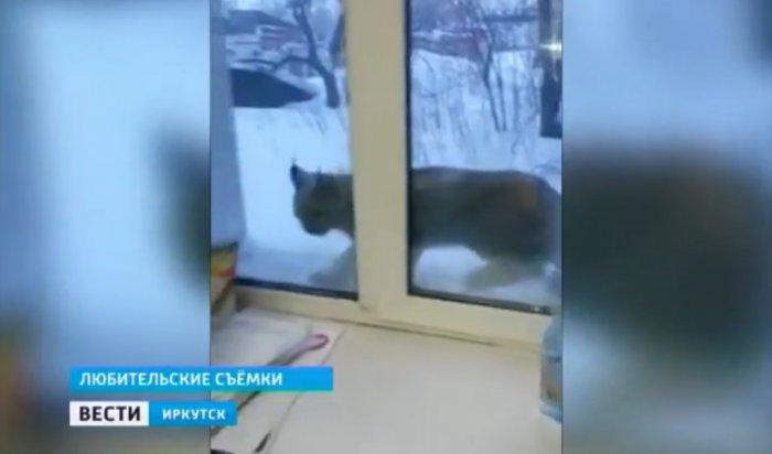 В аэропорту Иркутска очевидцы заметили рысь