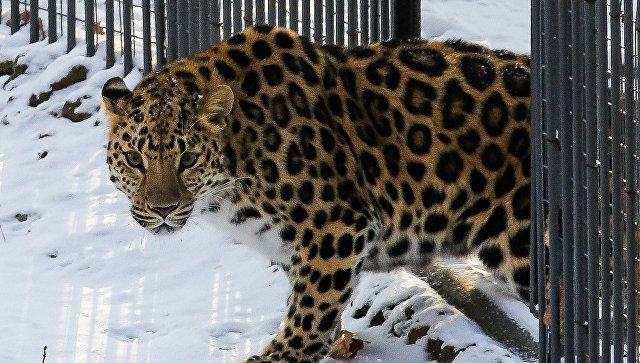 Надвухлетнего мальчика взоопарке Уссурийска напал леопард