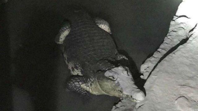 Двухметрового крокодила нашли вподвале жилого дома вПетербурге