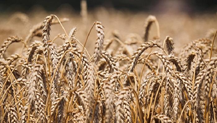 Китай разрешил ввоз пшеницы изшести регионов России