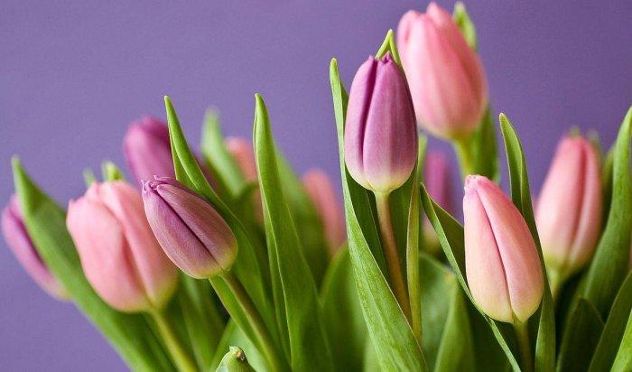 Около 70 тысяч тюльпанов вырастили вИркутске к 8 Марта