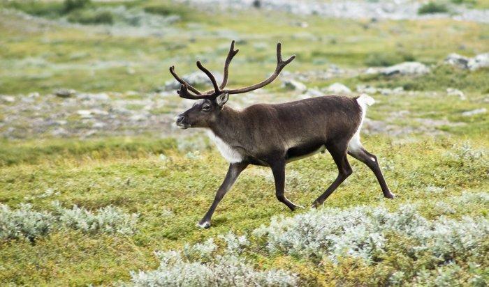 В Слюдянке задержан водитель, перевозивший рога северного оленя  без документов