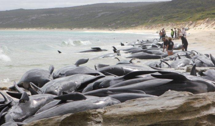 Более 150 дельфинов-гринд выбросились на берег в Австралии