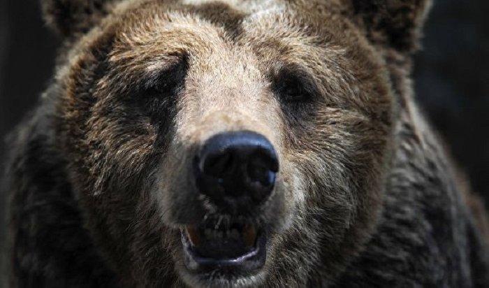 ВКемеровской области двое заблудившихся втайге молодых людей спаслись благодаря медведю