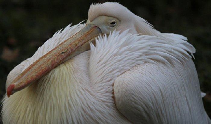 Вкиевском музее нашли 178-летнюю записку вчучеле пеликана