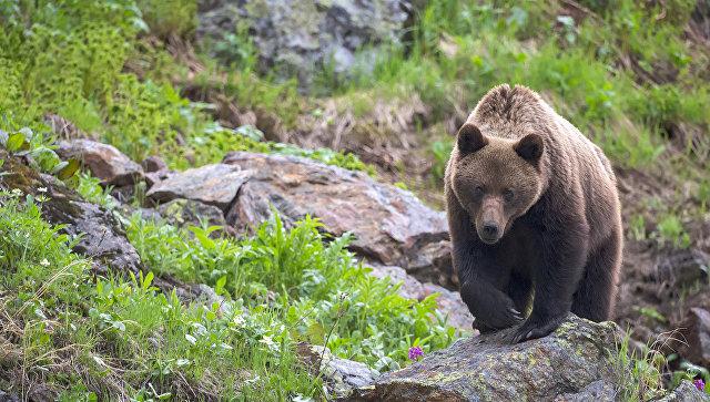 Автомобиль сбил медведя натрассе Братск— Усть-Илимск (Видео)